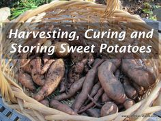 The process for harvesting, curing, and storing sweet potatoes is simple once you get the hang of it. The sweet taste of these homegrown, orange gems will be all it takes to convince you to grow them year after year..