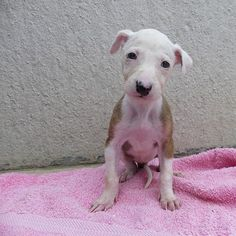 Another of Pudding the Galgo's puppies // Galgos del Sol, Spanish Greyhound + Podenco Rescue