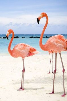 Beautiful Flamingos in Isla Holbox Island