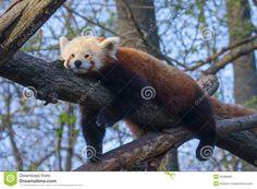Red Pandas Stock Photo - Image: 39368981