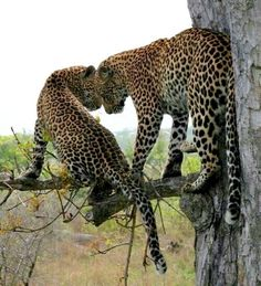 Leopard mom and cub out on a limb. Big Cats, Cool Cats, Cats And Kittens, Animals And Pets, Funny Animals, Cute Animals, Beautiful Cats, Animals Beautiful, Jaguar