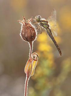 ♂ Artistic Nature dragonfly Sympetrum flaveolum by Marek Ciechanowicz