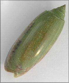 oliva shells | Oliva sayana Ravenel, 1834 Green Specimen