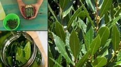 NO MORE VARICOSE VEINS, NO JOINT PAINS, NO LACK OF MEMORY, NO HEADACHES BY USING THIS LEAF!