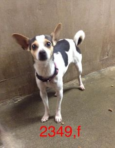 <3 CARRIE UNDERWOOD!! <3 Los Banos Animal Shelter, CA. IMPOUND #2349, female Rat Terrier X who's lost her way. Fairly young still, my guess is less than 1 yr, 5-8 lbs. ***5 day hold is up 12/22, hoping her family comes looking for her!!*** You can call the shelter to meet her 209 827-7089!! <3