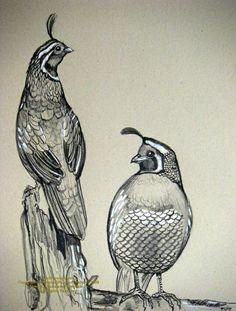 california quail sketches by houseofchabrier