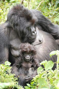 Mountain Gorillas - Volcanoes National Park, Rwanda. BelAfrique your personal travel planner - www.BelAfrique.com