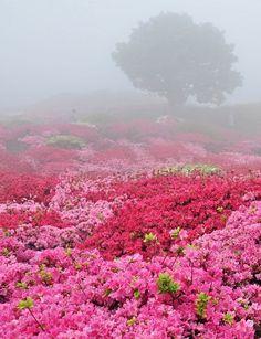 Rhododendron azalea garden, Japan.