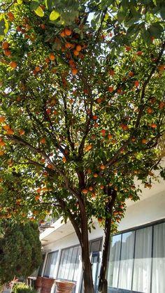 Árbol de Mandarina en huertos de Orduña de Abajo