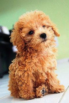 My poodle looked exactly like this when I first got him in Hes now 13 years strong and still fluffy. Poodles are a great breed to look into. They are top 4 smartest dog breeds in the world, and very friendly! ___ Visit our website now! Animals And Pets, Baby Animals, Cute Animals, Chien Goldendoodle, Maltipoo, Goldendoodles, Puppy Goldendoodle, Cute Puppies, Dogs And Puppies