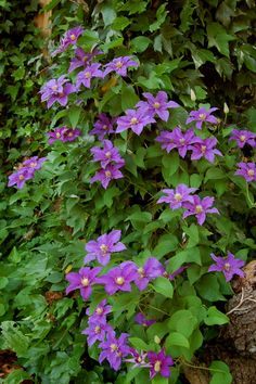 The Importance of Pruning Clematis