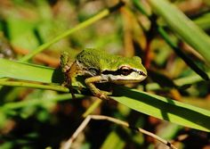 Photo tree frog 8 x 10  Mayne Island Marsh by Turtlesandpeace