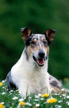 Smooth Coat Collie- I have never seen this before!! Might be better in the tropic climates?