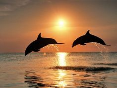 Dolphins in the setting sun