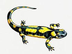 """Résultat de recherche d'images pour """"salamandre"""""""