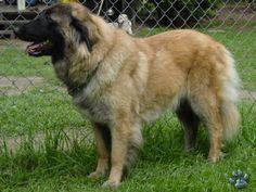dog-breeds - E - Estrela Mountain Dog - Page 2
