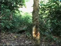 Manejo dos tracajás no rio Amônia - Este vídeo, produzido pelo projeto Vídeo nas Aldeias com a OPIAC (Organização dos Professores Indígenas do Acre), mostra um pouco sobre este trabalho de manejo.