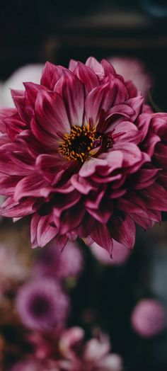 The Nature and the Beauty Pink Flowers, Beautiful Flowers, Dahlia Flower, Spring Wallpaper, Flower Phone Wallpaper, Beautiful Nature Wallpaper, Flower Aesthetic, Wallpaper Free Download, Flower Pictures