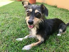 Makori is an adoptable Dog - Chihuahua & Wirehaired Terrier Mix searching for a forever family near Andover, MA. Use Petfinder to find adoptable pets in your area.