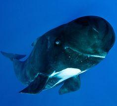 happy pilot whale