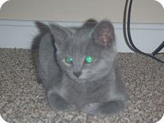 New Bedford, MA - Domestic Shorthair. Meet Grey Kittens, a kitten for adoption. http://www.adoptapet.com/pet/10988754-new-bedford-massachusetts-kitten
