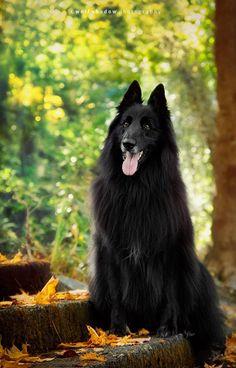 El pastor belga groenendael es una raza canina originaria de Bélgica.