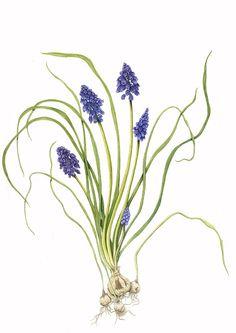 muscari illustration | dessins botaniques: Plantes du printemps