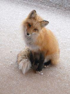首かしげきつね  fox