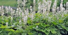 Native ground covers from Native Plants & Wildlife Gardens