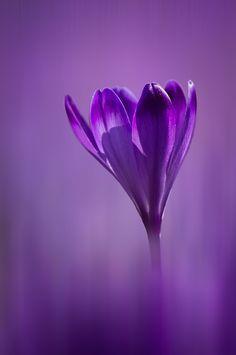 Purple Fields by Simon Benedičič
