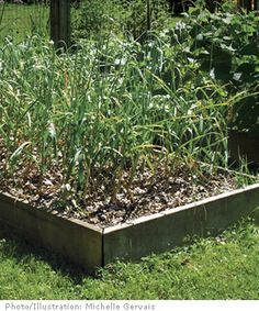 """Grow Your Own Garlic - Fine Gardening Article  It's """"ridiculously easy"""" grows like a weed!! You can have tons that tastes better than supermarket variety, you preserve your garlic harvest for entire year by chopping and freezing some, drying some, canning some in oil! Brilliant!"""