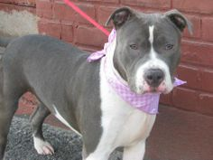 URGENT - Brooklyn Center   MARIA A/K/A CUPCAKE - A0994147   FEMALE, BLUE / WHITE, PIT BULL MIX, 2 yrs  SEIZED - ONHOLDHERE, HOLD FOR RTO Reason OWN EVICT  Intake condition NONE Intake Date 03/16/2014, From NY 11418, DueOut Date 03/21/2014,  https://www.facebook.com/photo.php?fbid=776511652361716&set=a.775499999129548.1073743070.152876678058553&type=3&theater
