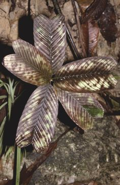 Pinanga veitchii H.Wendl. ex H.J.Veitch, Cat. 1880: 23 (1880) [PalmWeb]