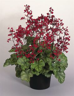 Heuchera sanguinea ruby bells