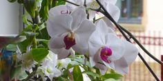 Fiche conseil : Comment faire refleurir une orchidée ?