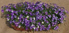 Violas, looks like woodland violet