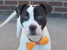 ☆ GONE BUT NEVER FORGOTTEN ☆ TO BE DESTROYED - 03/04/15 Brooklyn Center -P My name is BUDDY. My Animal ID # is A1028374. I am a male white and black pit bull mix. The shelter thinks I am about 2 YEARS old. I came in the shelter as a STRAY on 02/20/2015 from NY 11378, owner surrender reason stated was STRAY. https://www.facebook.com/photo.php?fbid=970026559676890