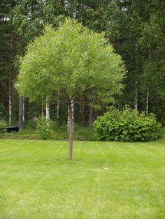 Fint träd :-) Det går under många namn, klotpil, bollpil, kaskadpil, knäckepil, finsk pil.... heter egentligen Salix fragilis 'Bullata'
