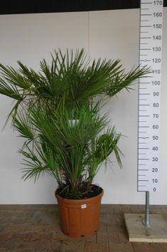 De waaierpalm is de enige palm die van oorsprong uit Europa komt. Hij wordt ook wel dwergwaaierpalm genoemd,  hij krijgt namelijk vanuit de onderste stamdelen nieuwe scheuten. Zo groeien er nieuwe stammen schuin weg vanaf de onderkant van de oude stam zodat het een mooie volle meerstammige palm wordt. Acer Palmatum, Europe