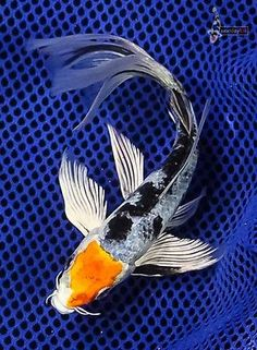 5 5 ki matsuba imported butterfly fin koi live fish for Butterfly koi fish aquarium