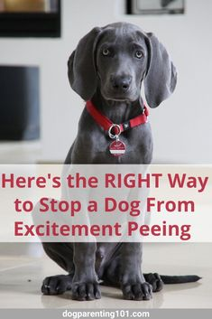 If your dog pees, or maybe I should say dribbles, every time someone walks in the door or it's play time, you're going to want to read this #dogbehavior #peeinginthehouse #helpfultips Dog Health Tips, Dog Health Care, Dog Pee, Animal Antics, Dog Boarding, Working Dogs, Dog Behavior, Dog Training Tips, Dog Accessories