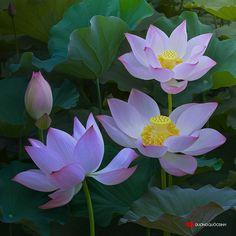 Sen081 2014,60x60 cm by duongquocdinh.deviantart.com on @DeviantArt