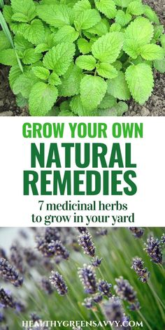 Natural Remedies in Your Own Yard Many of the plantsem in your your yard have some impressive medicinal uses worth exploring! Find out about the numerous natural remedies that may be growing in your yard right now. Natural Health Remedies, Natural Cures, Natural Healing, Herbal Remedies, Natural Foods, Natural Beauty, Natural Oil, Holistic Healing, Cold Remedies