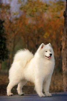 Dogs - Samoyed dogs are stunning!