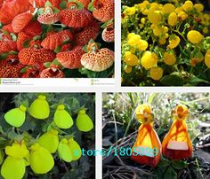 100pcs Common Calceolaria Seeds, Flower Seeds, Bonsai Flower Seeds, Garden Potted Plant DIY Free Shipping