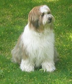 Tibetan Terriers are sweet and loyal members of the household, forming very strong bonds with their families. They also have keen protective instincts-not surprising when you realize that Tibetan Terriers have several thousand years' worth of watchdog experience under their belts. Their bark is deep, confident and loud. But, Tibetan Terriers only bark when necessary.