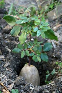 Starting a rose Bush clipping out of a potatoe