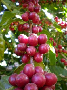TRENGER PÅ TERASSEN ! Coffee Farm, Coffee Shop, Coffee Flower, Coffee Photography, Coffee Recipes, Fruits And Vegetables, Coffee Time, Coffee Beans, Fair Trade