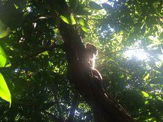 Coati, en los Manglares de Playa del Carmen, Riviera Maya