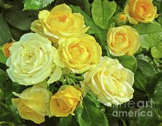 The Smile of Roses by Jasna Dragun